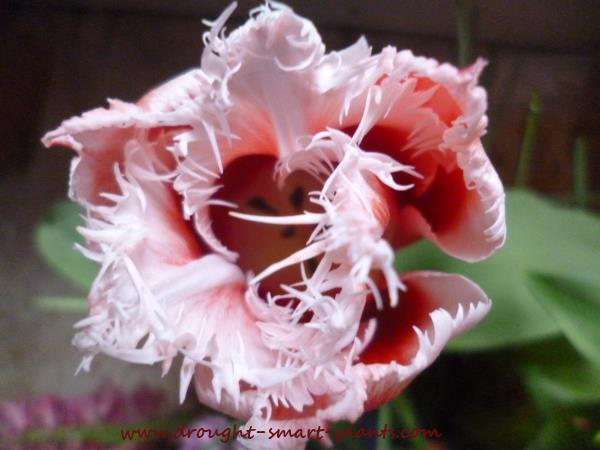 Parrot tulips with frilly edges...