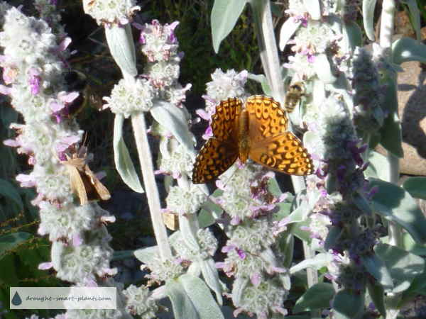 Stachys lanata attracts the Great Spangled Fritillary butterfly