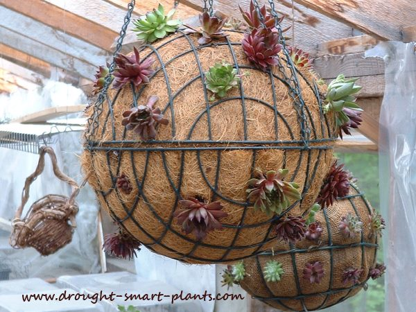 Just planted with Sempervivum, these succulent balls are shown hanging; experience shows that they are too heavy to display this way...