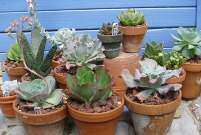 Mixed Succulent Collection in Terracotta Clay Pots