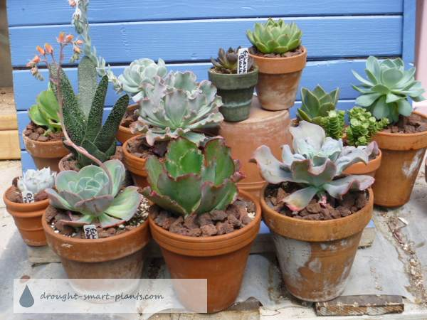 A group of happy succulents grown as houseplants