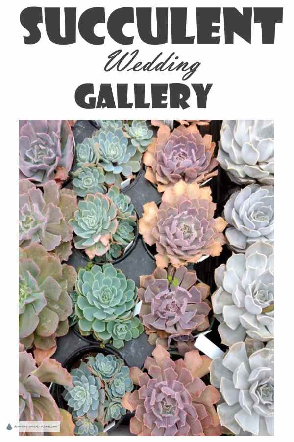 Celebrate with Succulents