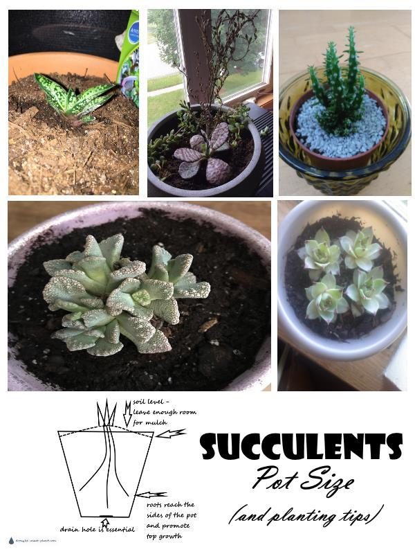 Succulents Pot Size and Planting Tips