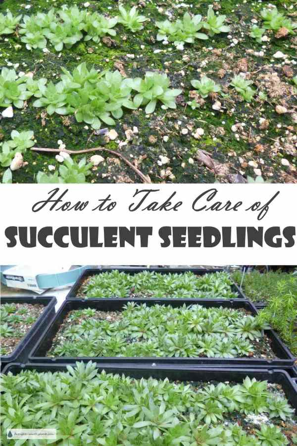 Take Care of Succulent Seedlings