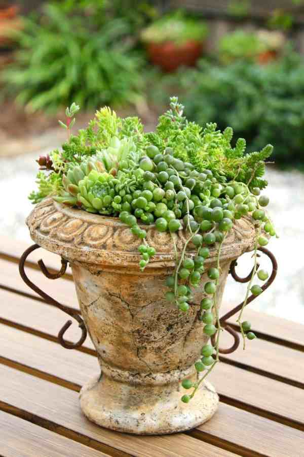 Terracotta Urn with Succulents