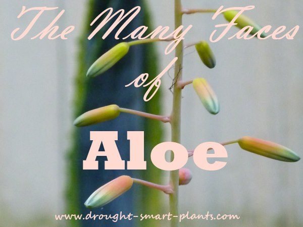 The Many Faces of Aloe...