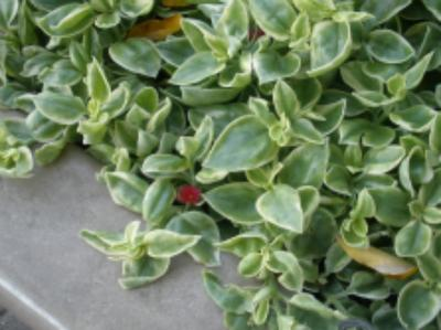 The Leaves Are Succulent So It Seemed And Sort Of Thick They Were Green With Some White In Them Had Very Small Dark Red Flowers Almost Brush Like