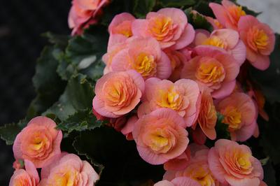 Gorgeous Begonia Flowers