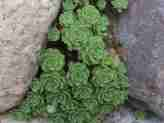 Sedum pachyclados 'White Diamond'