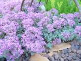 Sedum for Containers