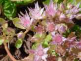 Sedum spurium green form