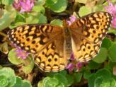 Butterfly Food - find out which shrubs work for caterpillar host plants