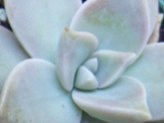 Graptopetalum