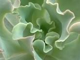 How to Grow Echeveria