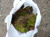 Moss Gathering - Wildcrafting