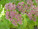 Sedum for Borders
