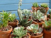 Succulent House Plants