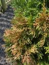 Arborvitae showing brown patches