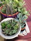 Senecio and yet more Kalanchoe species - keep them drained
