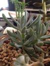 Cotyledon species