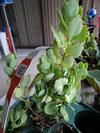 Kalanchoe species (could be rhombopilosa)