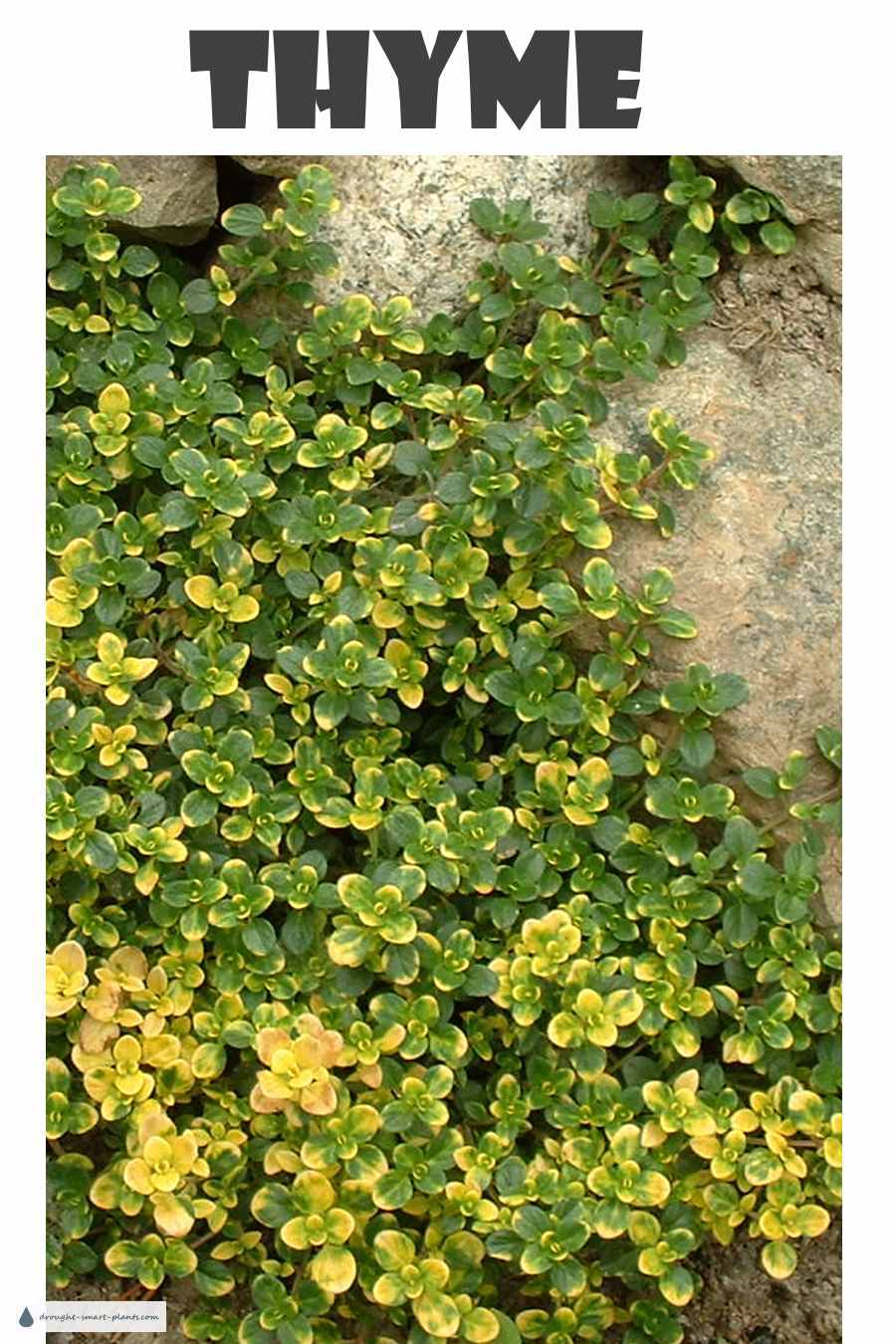 Thyme - hardy and drought tolerant