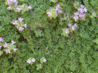 Compact and tiny Thymus serpyllum 'Elfin'