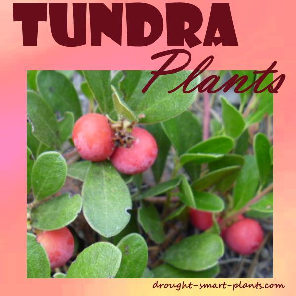 Tundra Plants - plants that take challenging conditions in stride