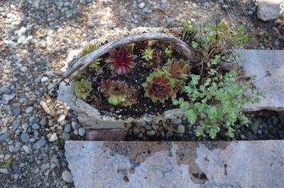 Beautiful Sempervivum add to the show