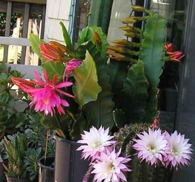 Epiphyllum with Barrel Cactus blooming