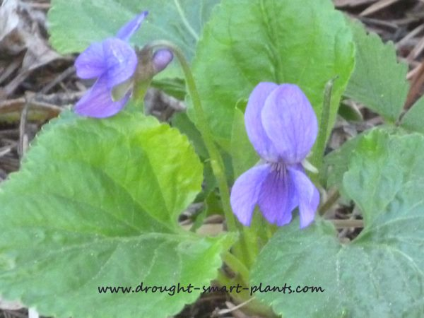Viola adunca, the native violet