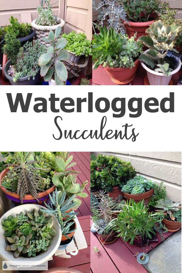 Waterlogged Succulents