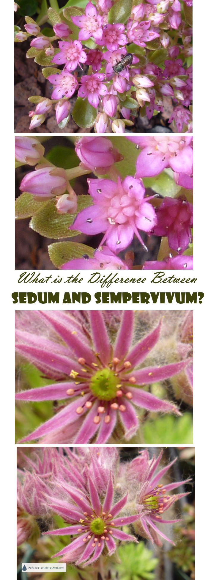 What is the Difference Between Sedum and Sempervivum?