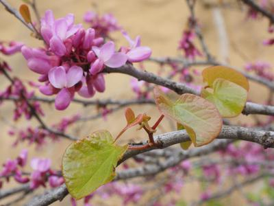 Cercis canadensis, the Redbud Tree