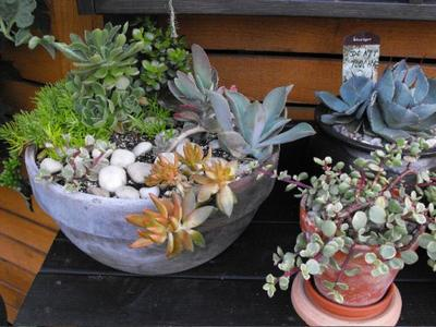 Grouping of mixed succulent containers