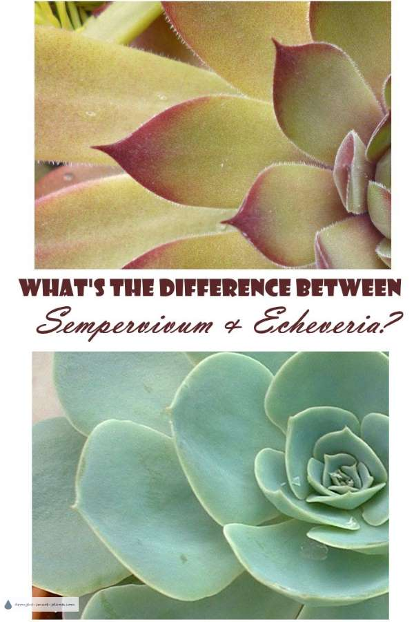 What's the difference between Sempervivum and Echeveria?