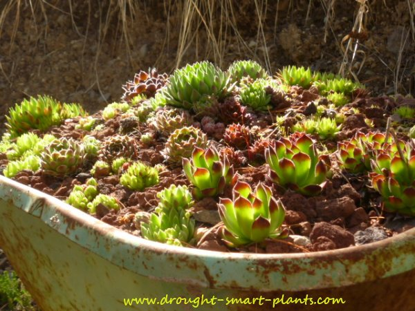 Succulents in a wheelbarrow - see more...