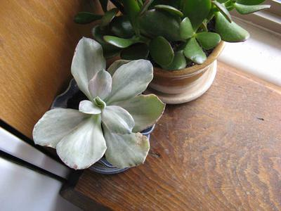 whitish-succulent-with-broad-flatish-leaves-21734783 Broad Leaved Green Plant House on narrow leaved plants, tall leaved plants, large leaved plants, common plants, fine leaved plants, small leaved plants, gray leaved plants, rain forest plants, wide leaf plants,