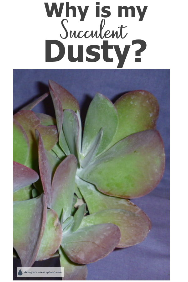 Why is my Succulent dusty?