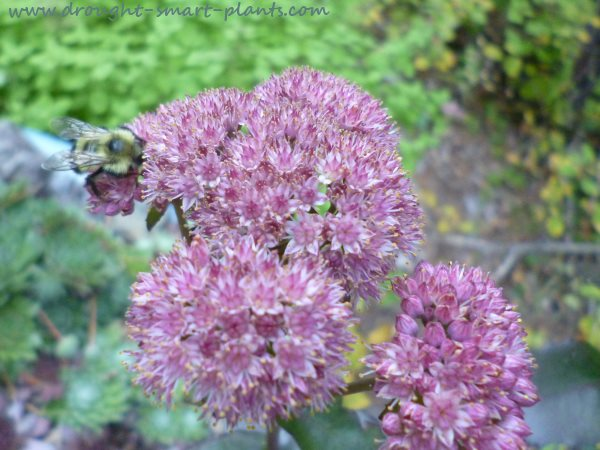Red Tailed Bumblebee on Sedum hybrid