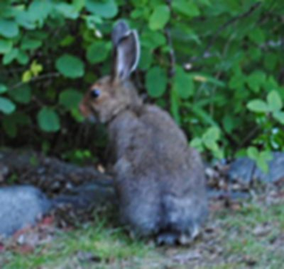 Wild Rabbits in the garden...