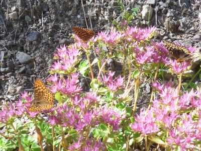 Beautiful Great Spangled Fritillary Butterflies love the Sedum when it starts to bloom...and continues for weeks...