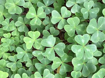 Wood Sorrel,  False Shamrock