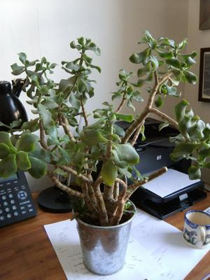 woody-stems-lightgreen-greyish-waxy-leaves-21669037 House Plants That Waxy Leaves on dark green house plants, cactus house plants, leaf house plants, succulent house plants,