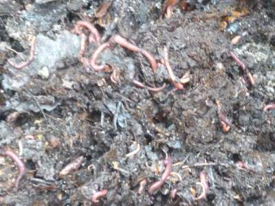 worms doing what they do best, making worm castings