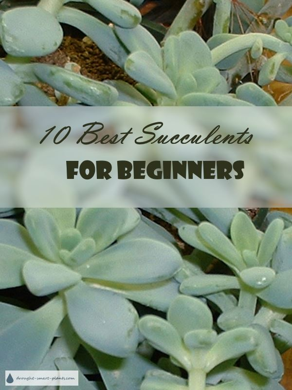 10 Best Succulents for Beginners...