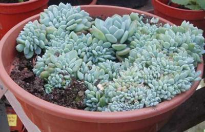 Succulent plant with blue foliage