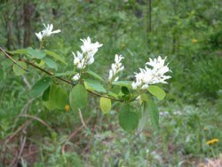 Amelanchier alnifolia, the Saskatoon bush
