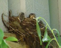 Baby birds napping in their nest...