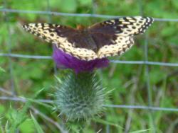 Speyeria leto, the female Great Spangled Fritillary